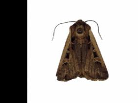 Western Bean Cutworm moth