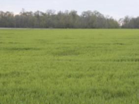 early spring wheat