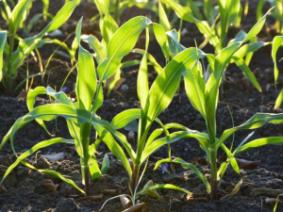 """Delayed Planting Effects on Corn Yield: A """"Historical"""" Perspective"""