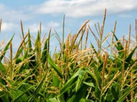 Hybrid corn maturity