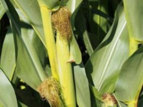 Corn stalks with immature ear