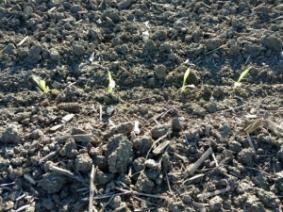 emerged corn