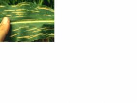 grey leaf spot
