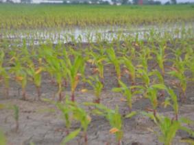 Wet Weather Plaques Ohio Corn Crop