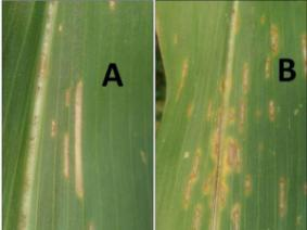 corn leaf disease symptoms
