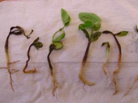 Stand and seedling problems in soybeans