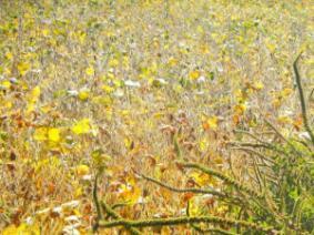Palmer amaranth in soybeans.