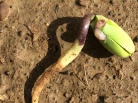 Slug feeding on soybean seedling.