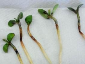 "Symptoms on soybean seedlings hit with a ""trifecta"": cold, saturated soils; potential freeze injury; and closely timed planting to herbicide applications."