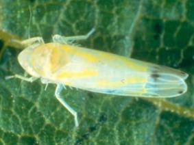 Growers should be scouting for Potato Leafhopper in 2nd cutting alfalfa (Photo: OARDC)