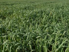 fall cover crop