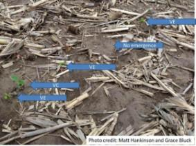 Uneven Soybean Emergence