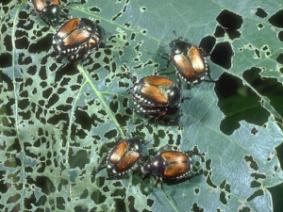 Multiple Japanese Beetles