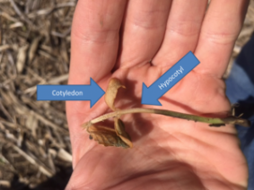 Figure 1. Freeze damage below the cotyledons. The soybean plant will not recover.