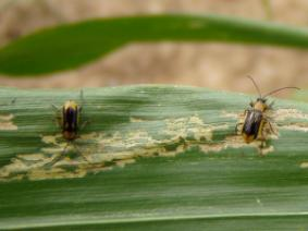 Male Western Corn Rootworm