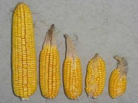 Abnormal ears of corn