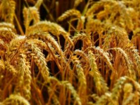 Don't Delay Wheat Harvest (Well…If the weather cooperates)