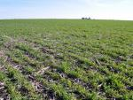 field of cereal rye cover crop