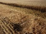 wind row of wheat straw on bottom half of picture and wheat to be harvested in top portion of picture