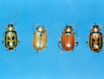 Bean leaf beetle variation