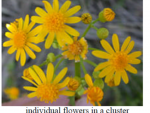 cressleaf groundsel flowers