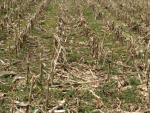 Cover Crops in Corn Stalks