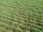 field of wheat seedlings