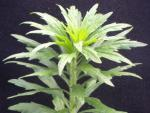 Marestail (Horseweed)